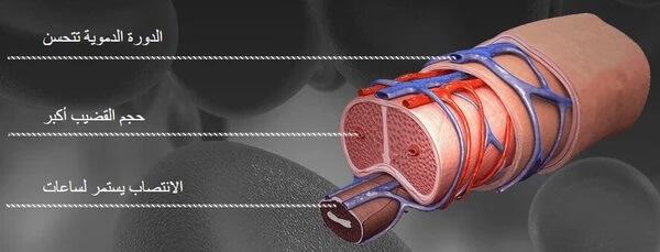 الأوعية الدموية و التجاويف الاسفنجية بالقضيب